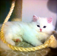 *Himalayan kittens available*