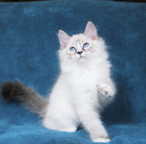Lynx Mitted Ragdoll Girl for her new home