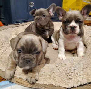 2 females French bulldog puppies!