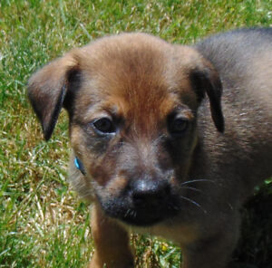 READY TO BE REHOMED: Handsome Male Shepherd Mix Pups