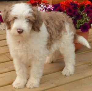 Gorgeous BeardieDoodle Puppies!! REDUCED IN PRICE