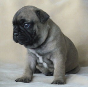 Beautiful l French bulldog and Pug Cross Puppies