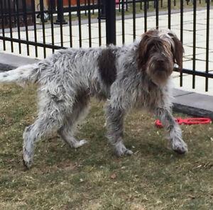 LOST DOG Griffon