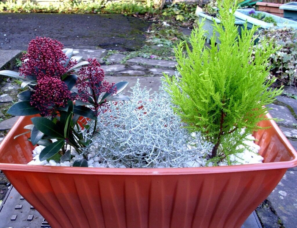 Beautiful Evergreen Planted Container Joblot Great for New House/Patio/Pub Beer Garden!