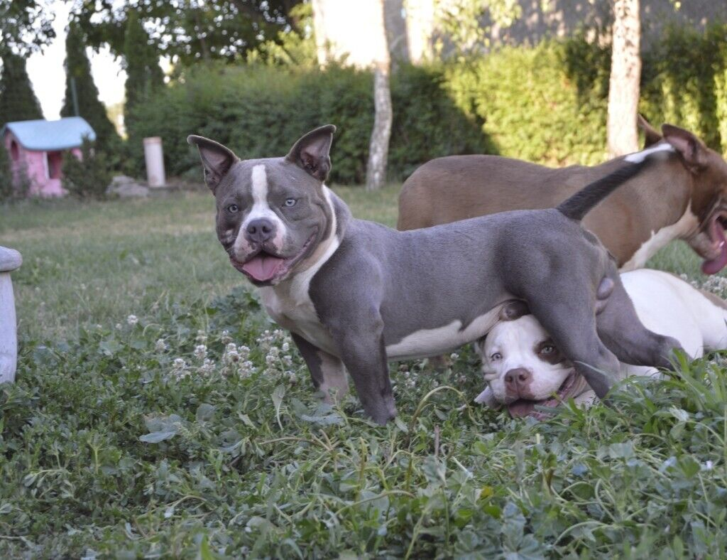 STUNNING ABKC REGISTERED POCKET AMERICAN BULLY PUPPIES (WITH TOP  BLOODLINES) STILL AVAILABLE   in Romford, London   Gumtree