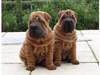 SHAR PEI PUPPIES THERE FATHER IS MY BLUE SPANISH CHAMPION IMPORT EXCLUSIVE TO ME