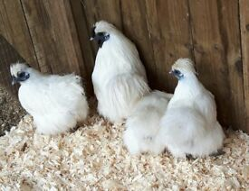 Assorted Pure Show Quality Chickens For Sale