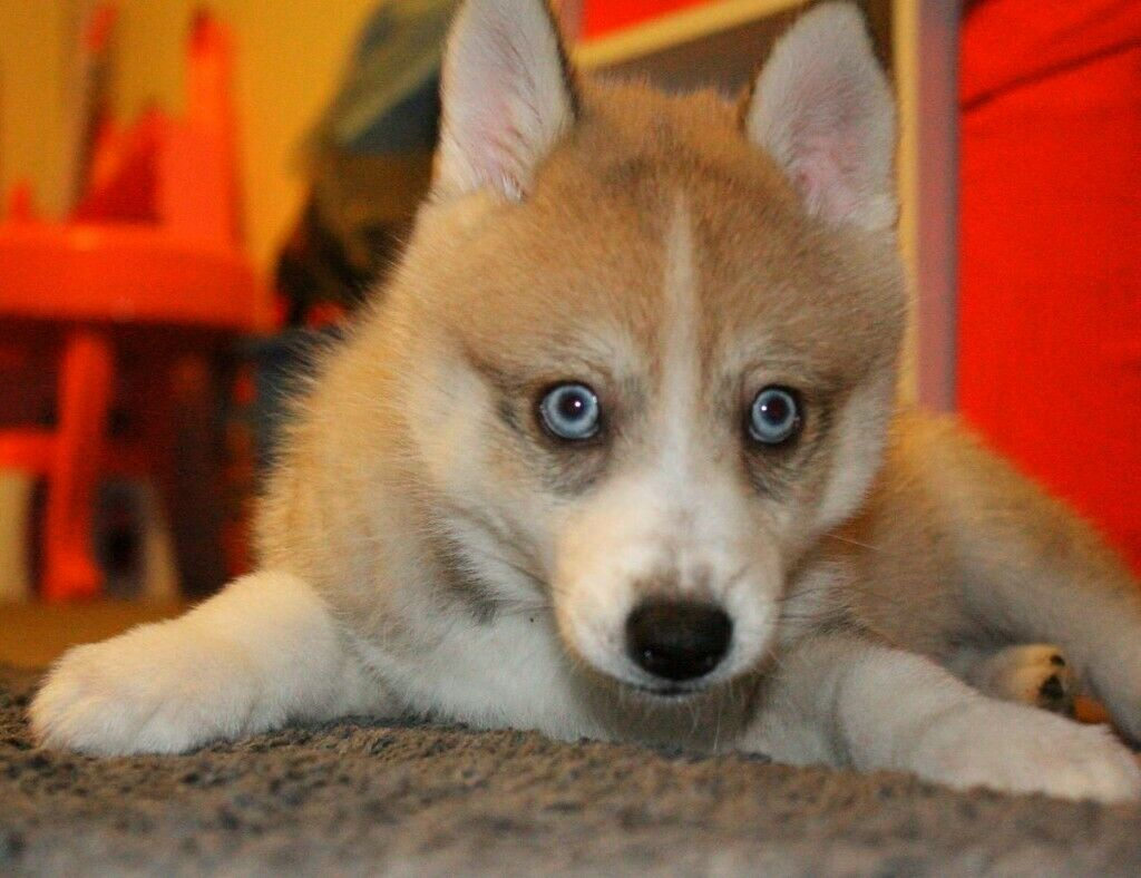 Available Now Last Pomsky Puppy For Sale In Leicester Leicestershire Gumtree