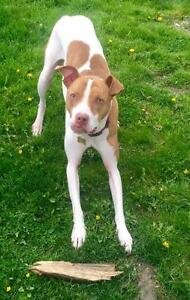 """Adult Male Dog - Pit Bull Terrier: """"Turbo"""" West Island Greater Montréal image 3"""