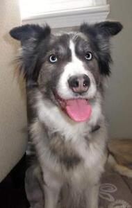 """Adult Female Dog - Australian Shepherd-Husky: """"Monet"""""""