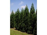 Evergreen Trees Pine style for sale