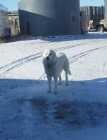Great Pyrenees X Marmma new Home ASAP
