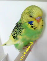 FANCY FRIENDLY BABY ENGLISH BUDGIES READY TO GO NOW!