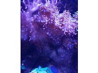 Corals Lps