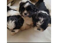 A cute litter of miniature shih tzu pups for sale.