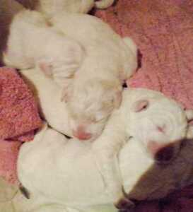 Great Pyreneese/Maremma X Akbash Puppies for sale