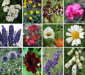 12 x Hardy Herbaceous Perennial plug plants, Garden Ready