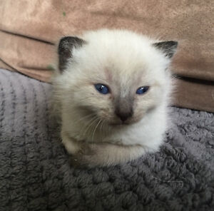 Beautiful Siamese chocolate point kitten looking for a home! Peterborough Peterborough Area image 2