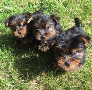 CKC Reg'd Yorkshire Puppies and young adults for sale