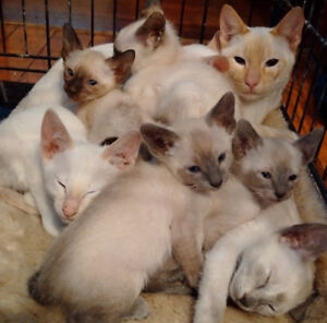 PUREBRED CLASSIC SIAMESE KITTEN - READY TO GO NOW