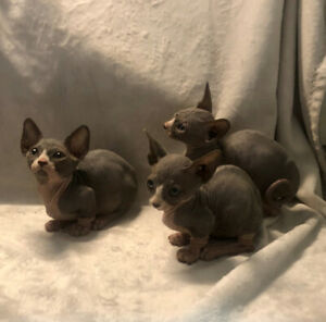 Sphynx, Bambino and Dwelf kittens