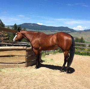 Gorgeous 13yo registered APHA mare