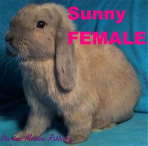 Mini Lop FEMALE Rabbits