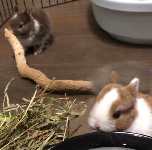 *Grow with Them* Vienna Marked Netherland Dwarf Bunny Rabbits