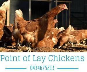 POINT OF LAY CHICKENS FOR SALE Wollongbar Ballina Area Preview