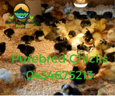 PUREBRED CHICKENS & CHICKS