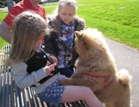 full breed Chow needing a new home