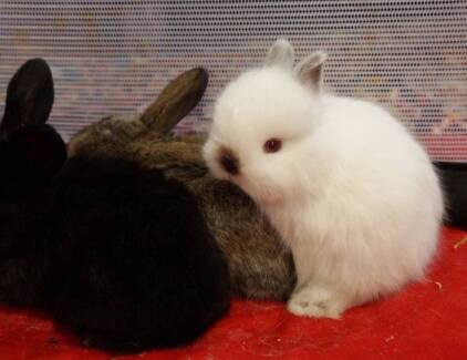 Beautiful Baby Bunnies Ready for Xmas - or Now - Jersey Woolie