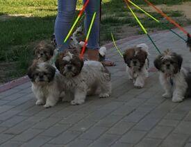 Shih tzu beautifull puppies
