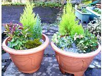 Beautiful Xmas Evergreen Plant Joblot for Xmas/New House/Patio Decor