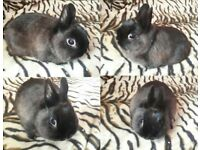 Netherland dwarf buck Siamese sable he is brc rung