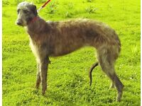 K.c Regestered Deerhound female