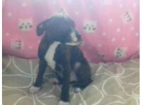 Staff puppie for sale no time wasters as she ready to go!!
