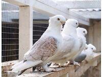 Fancy Birds for sale in Wembley