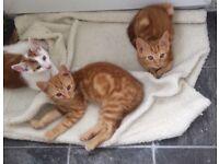 3 8 weeks old male kittens