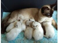 Healthy Happy Ragdoll Kittens