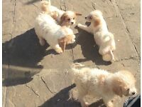 7 stunning cavapoo puppies ready for a loving home