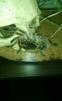 Chillian rose tarantula for sale