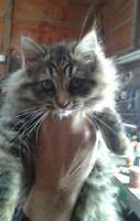 "Young Female Cat - Domestic Long Hair: ""Paige"""