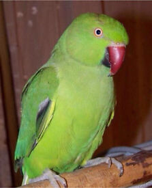 Green Parrot with Cage and Accessories Talking Parrot