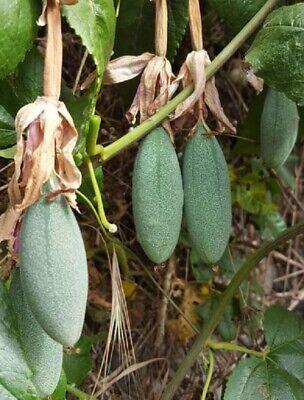 Curuba - banana - maracuya passiflora mollissima FRUTA comestible 100 semillas