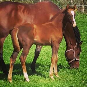 Hanoverian Trakehner Canadian Warmblood Filly- Payment options!