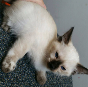 Siamois seal point tortie siamese