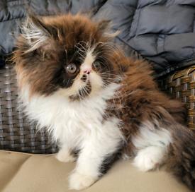 Last Stunning ultra face Persian kitten boy left remaining ready now