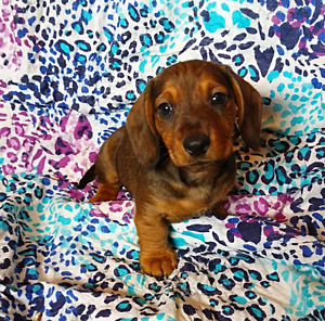 Longhaired/Wirehaired Miniature Dachshund Pups! Ready now.