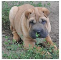 Chinese shar-pei female puppy, adorable chiot femelle shar pei